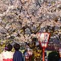 写真: 盛?艷?櫻花樹下情