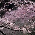 写真: 春・・さくら~♪