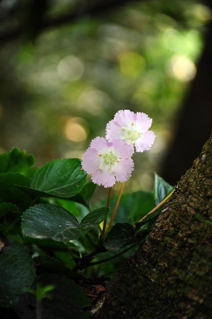 写真: 淡いピンクの微笑みを