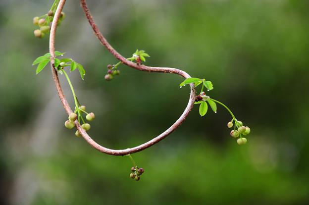 写真: 少し遊んでから咲きますね・・