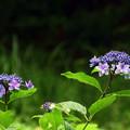 写真: 木陰のアジサイ
