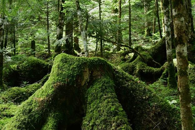 写真: 苔の森