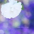 写真: 白い香り