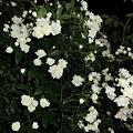 Photos: 夜薔薇