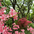 写真: 葛城山のツツジ 其の六