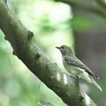 キビタキ幼鳥2