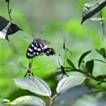 写真: 危うし蝶