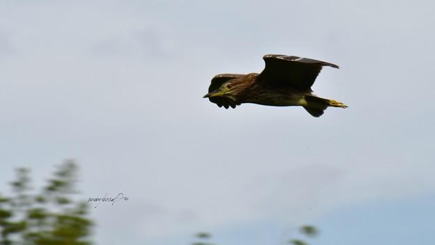 写真: ホシゴイ飛翔