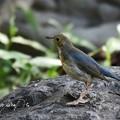 コルリ幼鳥