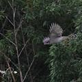 写真: 中途半端なオオタカ成鳥