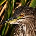 写真: ホシゴイの目