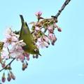 青空桜メジロ