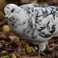 写真: ちょっと変わった鳩