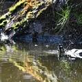 シジュウカラ水浴び風景