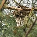 フクロウ(証拠写真)