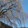 写真: 名残の桜