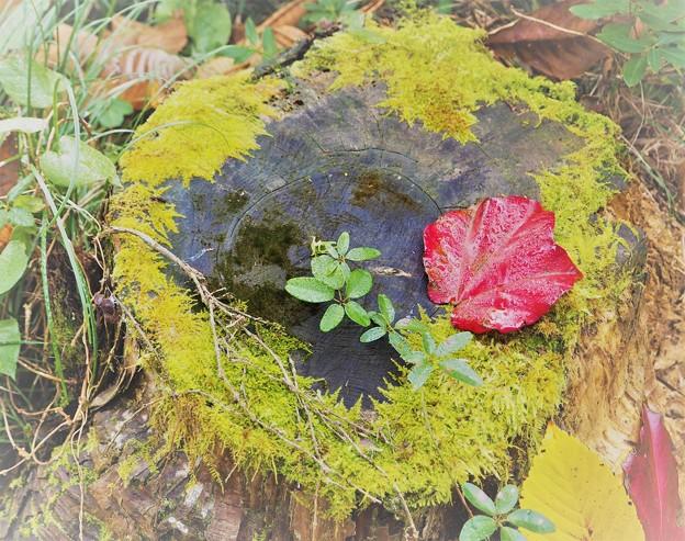 Photos: 紅一葉