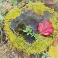 写真: 紅一葉