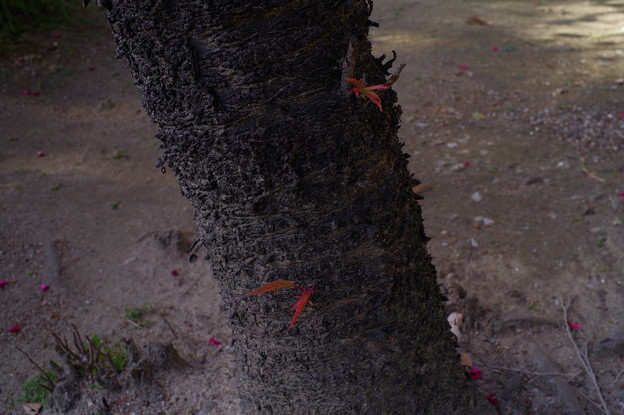 桜の木の下には…