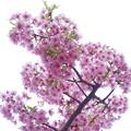 桜のブーケ(CI:雅)