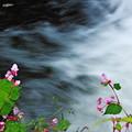 写真: 秋海棠