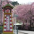 川根町 徳山の枝垂れ桜