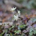 早春の花  コセリバオウレン