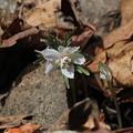 早春の花  セツブンソウ
