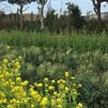 写真: 奥~大根、真ん中~ブロッコリー、手前~菜の花