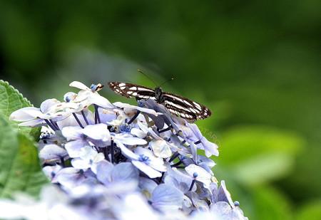紫陽花に蝶々