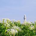 写真: 角島浜木綿_2