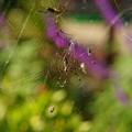 写真: 女郎蜘蛛メス