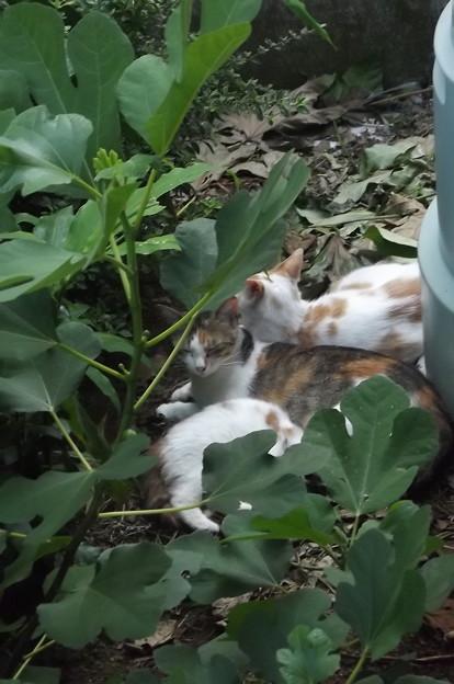 写真: ミケママ、茶ブチ、子ネコ0712