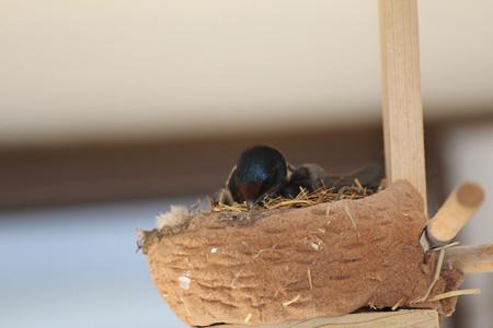 巣作り開始